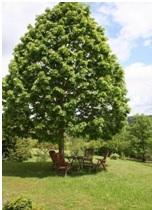 linden-tree